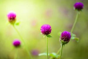 flores de amaranto globo