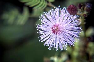 flor de alcachofra foto
