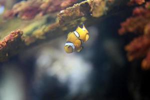 peixe-palhaço na área de recifes de corais do mar. foto