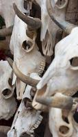 grupo de crânios de touro como pano de fundo