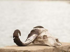 crânio de búfalo foto