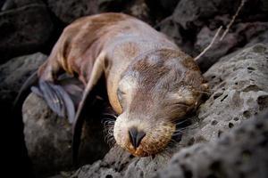 bebê leão-marinho dormindo nas ilhas galápagos