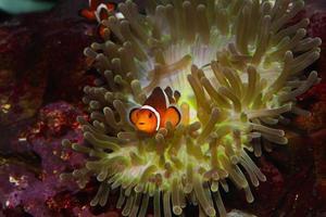 anemonefish foto