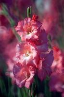 flor de gladíolo no jardim