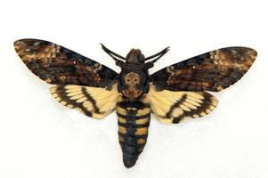 falcão-mariposa cabeça da morte, acerôncia atropos foto