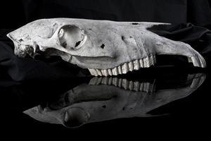 crânio animal foto