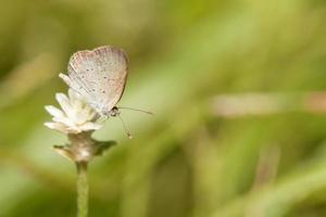 borboleta azul grama clara com flor eterna globo selvagem foto