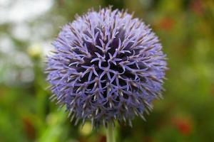 cabeça de flor de echinops. foto