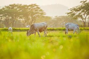 vacas em terras agrícolas