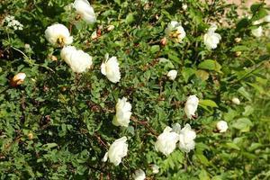 roseira brava no jardim verão primavera foto