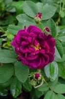 rosa soberba da Toscana foto