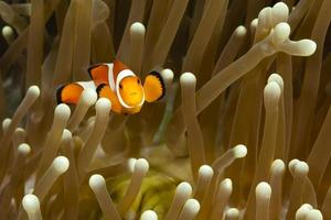 pomacentridae, peixe-palhaço ou peixe-anêmona foto