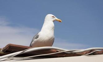 gaivota do Cáspio