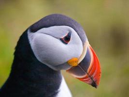 papagaio-do-mar atlântico ou comum, fratercula ártica foto