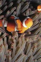 peixe anêmona foto
