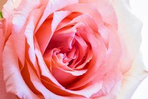 rosa close up