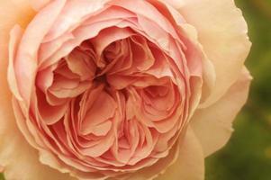 pastel rosa foto