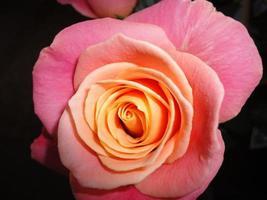 uma rosa foto