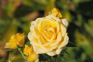rosas florescendo