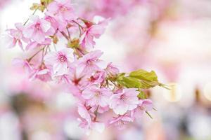 flor rosa sakura florescendo na primavera foto
