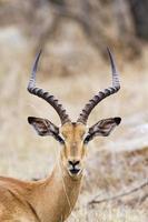 impala no parque nacional kruger