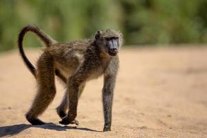 babuíno no parque nacional Kruger