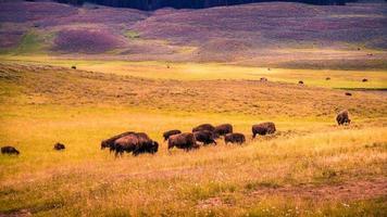 rebanho de bisões