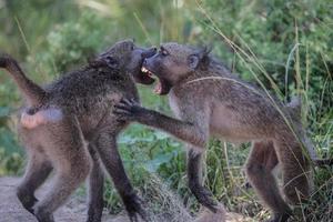 babuínos lutando no parque nacional Kruger