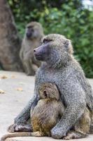 mãe e bebê babuíno