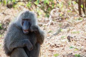 papio cynochephalus (babuíno)
