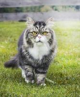 gato velho no outono jardim na grama