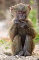 bebê babuíno verde-oliva (papio anubis) sentado