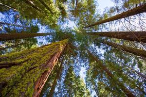 sequoias na califórnia vista de baixo
