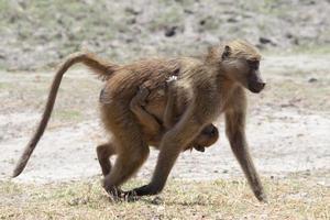 mãe e bebê babuíno caminhando na margem do rio