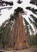 árvores de sequóia / sequóia fisheye no parque nacional de Yosemite por fisheye