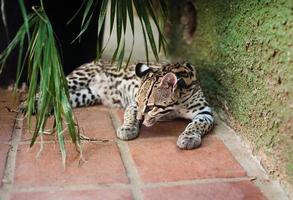 jovem leopardo