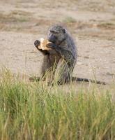 babuíno verde-oliva comendo