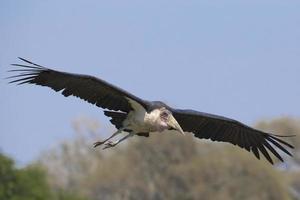 Cegonha-marabu (leptoptilos crumeniferus) voando