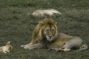leão rabugento