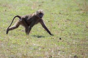 papio cynochephalus (babuíno) - Parque Nacional do Serengeti, Tanzânia