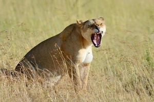 leão no parque nacional do quênia, áfrica