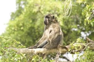 babuíno está sentado em um galho no parque Kruger