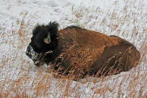 búfalo-bisão americano no parque nacional de yellowstone durante o inverno