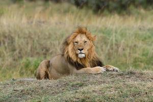leão próximo no parque nacional do quênia