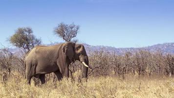 elefante africano no parque nacional kruger