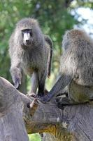 casal de babuínos verde-oliva em uma árvore