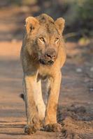 jovem leão no parque nacional Kruger