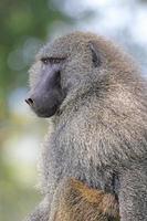 retrato de babuíno verde-oliva