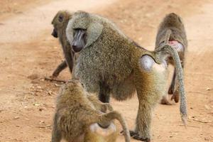 grupo de babuínos verde-oliva (papio anubis)