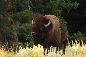 búfalo / bisão